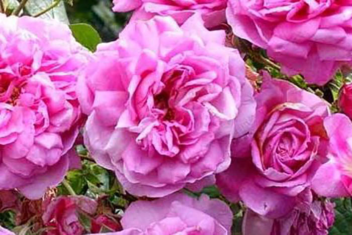 バラのアロマで美しく健康になる―ローズのアロマテラピー基礎知識